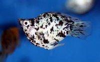 Balloon Molly Fish