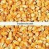 100% high quality Yellow Maize