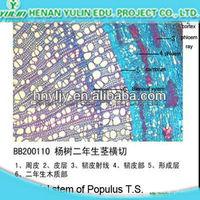 Annul stem of Tilia T.S. higher education microscope slides