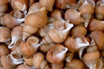 whelk / conch