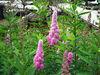 100% Natural Biochanin A CAS : 491-80-5 in Red Clover P.E.