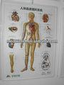 3d affichagecalendrier- système de circulation sanguine