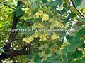Linden flor ( cal flores ; herbario )