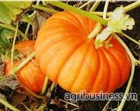 Fresh Pumpkins_Agribusiness.vn