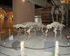Prehistoric animal skeleton replica model
