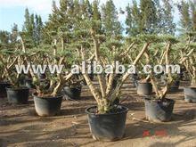 POM POM Olive tree