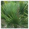 Saw Palmetto P.E/Sabal Extract