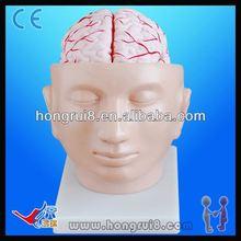Hot ventes cerveau modèle d'enseignement instrument pour la biologie
