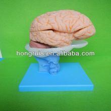 Avancée pvc modèle du cerveau, modèles anatomiques du cerveau un instrument d'enseignement pour la biologie