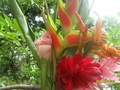 Heliconia flores , lâmpadas , sementes , rizomas , estacas