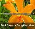 Bb orquídeas, Plantas de orquídeas fresco da tailândia : Mokara laranja