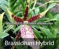 Las orquídeas del BB, orquídea plantan fresco de Tailandia: Híbridos de Brassidium