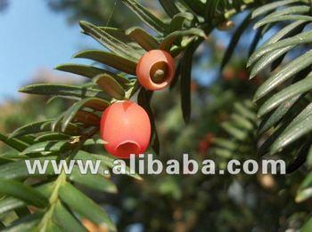 Himalayan Yew Oil/ Taxus Wallichinia Oil