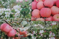 2014 new Fresh sweet fuji apple fruit,gala apple in good price on sale