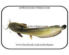 WALKING CAT FISH - Clarias batrachus