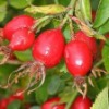 Main Exporter of Rose hip seed oil