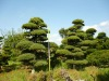 Japanese plant bonsai form pine tree