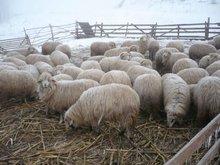 Lamb, steer, sheep, cattle