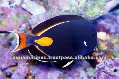 Achilles Tang Price Aquarium Fish Achilles Tang