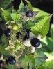 Atropa Belladonna Extract Powder