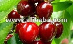 Red fresh cherry Van from Bulgaria