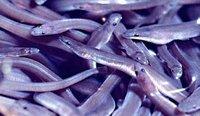 live eels,frozen eels