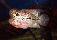 Flowerhorn and Kamfa fish.