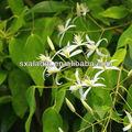 Alta qualidade natural da raiz de alcaçuz p. E-cigarro com glabridin 5% 20%/uralensis glycyrrhiza