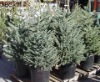 Christmas Trees Available...
