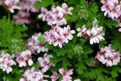 Geranium Oil