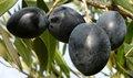 Griego grande negro mesa de olivos en agua salada de nuestra granja