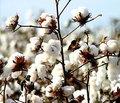 melhor farinha de semente de algodão para ração animal