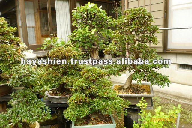 indoor piante bonsai acero in autunno