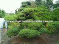 สนต้นไม้เทคนิคประเพณีของญี่ปุ่น