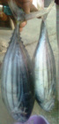 Fresh Frozen Whole Round Skipjack Tuna