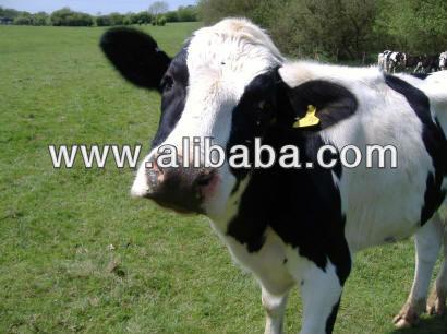 Génisse enceinte du Holstein à vendre