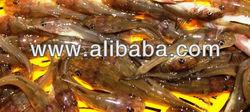 Anak Benih Ikan Baung, Ikan Baung, Mystus spp, Pak Suk Gong, Baung Ekor Merah, River Catfish fry, Baung Kuning, Baung Diamond