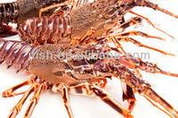 live rock lobster