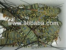 Live Flower Lobsters (Palinurus ornatus)