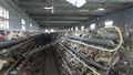 Gaiola de galinha, gaiolas em bateria galinhas poedeiras, tipos de galinhas poedeiras
