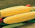 GOLDEN YELLOW SWEET CORN