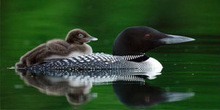 Loon Mother With Chick Photo License Plate