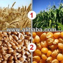 grain of yellow corn (Indian maize), wheat and any kinds of grain Ukraine origin