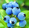 100% NATURAL BILBERRY EXTRACT PROFESSIONAL MANUFACTURER
