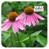 organic echinacea purpurea extract