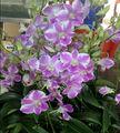 dendrobium orquídeas híbridas