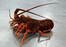 Southern Rock Lobster Live