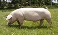 Cerdos razas