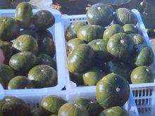 Planting hybrid squash seeds