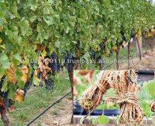 COIR Grape Creeper STRINGS